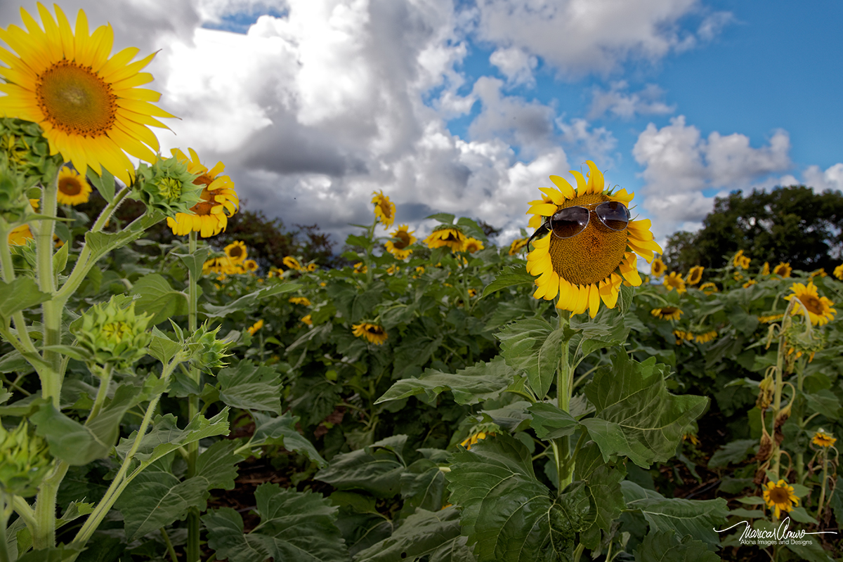 Waimanalo Sunflower Fields by Maricar Amuro, Aloha Images and Designs