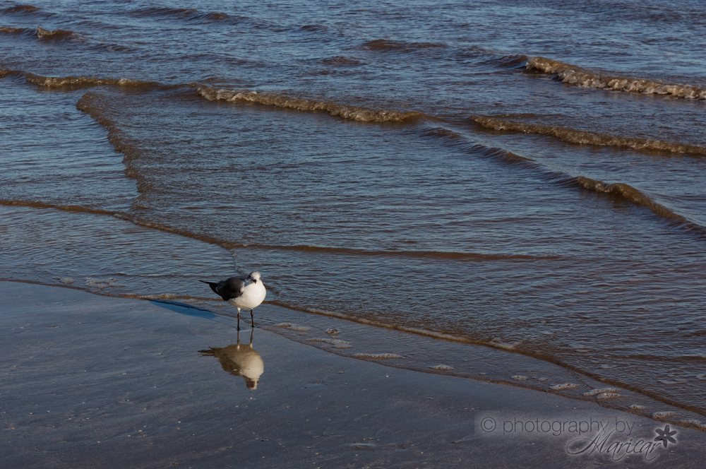 Galveston Seagulls photography by Aloha Images and Designs